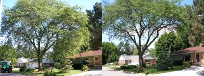 Tree Trimming before and after